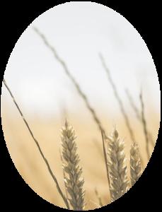 Lebensmittel und Futtermittel, Weizen